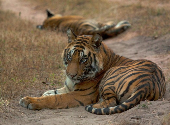 Two tigers resting in the Bandhavgarh Tiger Reserve within Bandhavgarh National Park in India. (Credits: PA)
