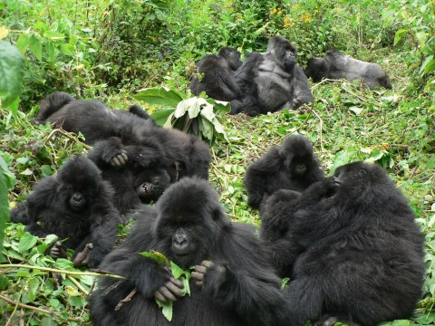 Gorillas will limit the amount of relationships they form, study suggests