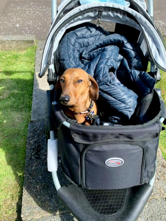 A miniature dachshund underwent a life saving op to help him walk again - after ?4,500 was raised for the pooch in just 36 hours. See SWNS story SWSCdog. Sausage dog Peanut, aged five, had to have surgery on his back after vets discovered he had Intervertebral Disc Disease (IVDD) - a spinal disease which left him paralysed. Owner Tricia Young, 55, rescued Peanut last year, but couldn?t get him insured as he?d already been rehomed four times in his short life. The little pooch underwent decompressive surgery last month, which involved having his spinal discs ?shaved? and left him with 13 staples in his back. Peanut is now on the mend, although he still can?t exercise. But devoted owner Tricia has resorted to pushing him around in a special doggy pram so he can still get out and about.