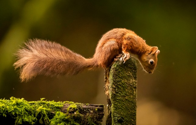 File photo dated 27/10/2019 of a red squirrel. A quarter of Britain's native mammal species, including red squirrels, wildcats and beavers, are at risk of extinction, a new assessment warns. PA Photo. Issue date: Thursday July 30, 2020. The first official Red List for British Mammals, which meets international criteria used to assess threats to wildlife such as elephants and tigers, shows that 11 of our 47 native mammals are at risk of extinction. See PA story ENVIRONMENT Mammals. Photo credit should read: Danny Lawson/PA Wire