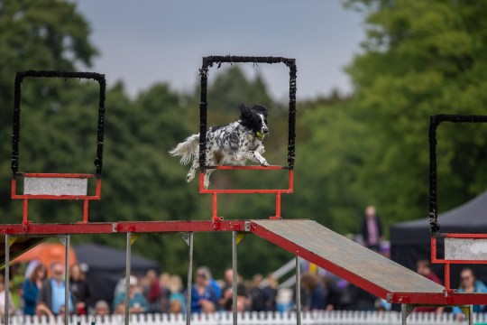 Dog jumping through a hoop at Dogstival