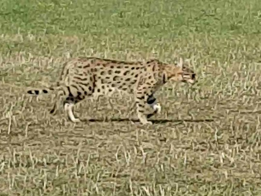 Large wildcat spotted in Cambridge park