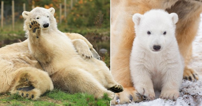 hamish polar bear moving to yorkshire