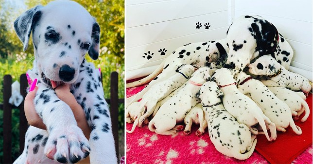 the litter of Dalmatians and the lucky puppy