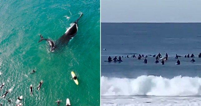 A humpback whale and her calves popped up to say hi to surfers in Sydney, Australia.