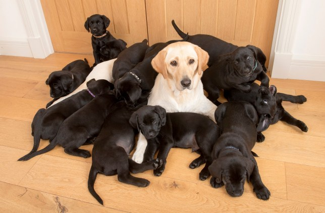 Lucy the golden Labrador and her 13 puppies.