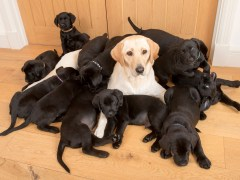 Lucy the golden Labrador gives birth to 13 black puppies