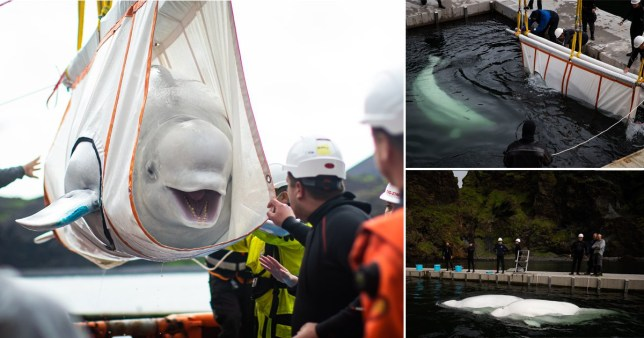 Two beluga whales have been rewilded in Iceland after spending the last nine years in captivity in China