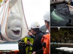 Beluga whales rescued from performing as show animals at Chinese aquarium