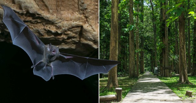 Initial research points to bats as the source of the global virus (Picture:Getty)