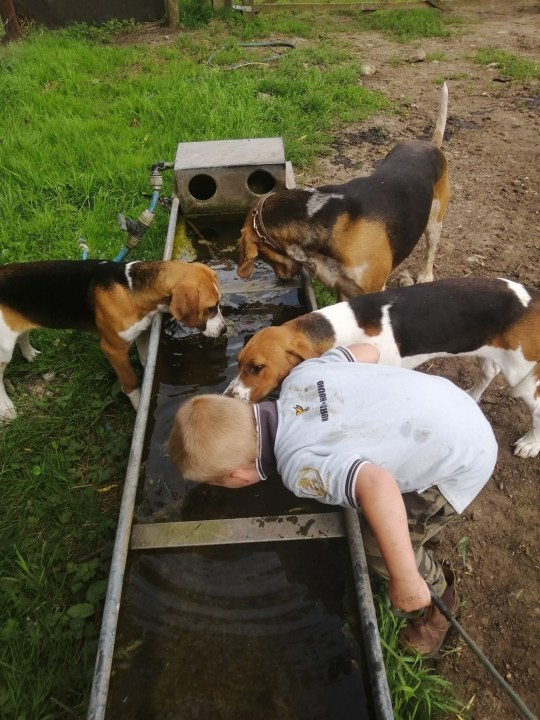 Alec drinking from a water trough with the dogs