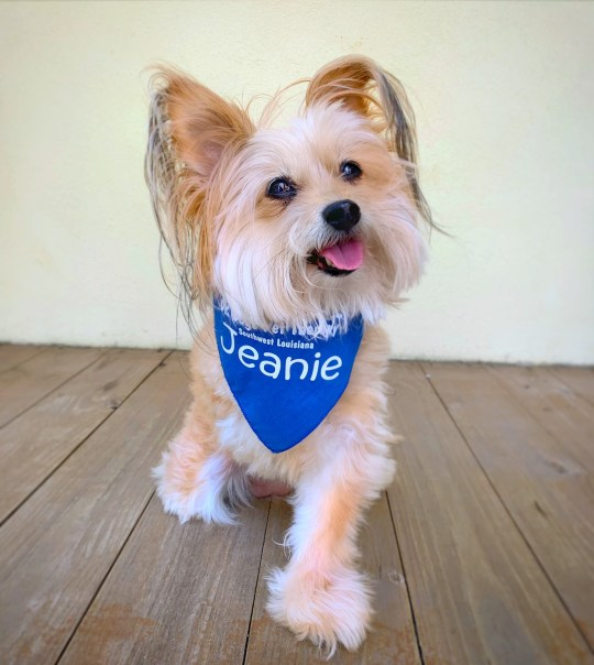 Jeanie, a 13-year old Pom-yorkie-poodle mix. See SWNS copy SWBRdog: This is the inspirational story of how a brave three legged dog who beat Thyroid cancer spends her time helping others as a therapy dog. Jeanie, a 13-year old Pom-yorkie-poodle mix was found in 2007 in a rural part of Lake Charles Louisiana. Jeanie had a crippled foot that was later amputated when she was rescued and brought to a local vet who put her up for adoption. It wasn?t long until Lak Charles resident Lydia Chrochet saw her face and fell in love.
