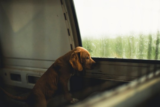 Sad puppy looking out the window of a van
