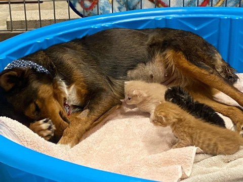 Rescue dog who lost her litter of puppies becomes mum to orphaned kittens