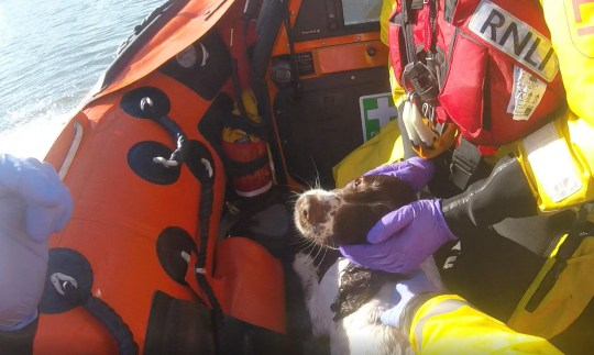 A dog rescued from the sea off the coast of Rhyl after chasing seagulls is stroked by an RNLI volunteer