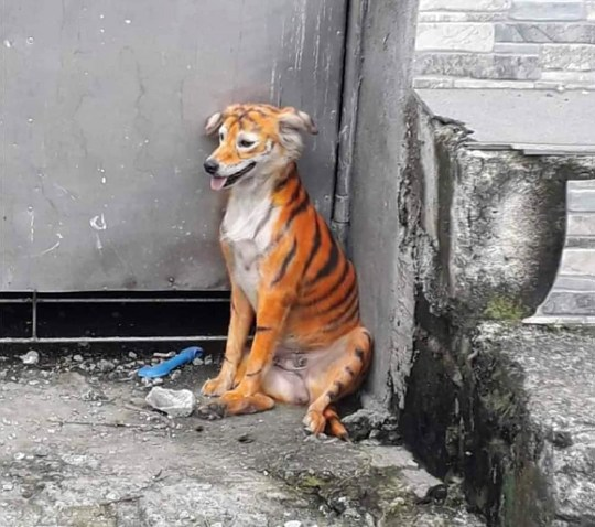 Chien peint comme un tigre.  (@ animalmalaysia / Newsflash)