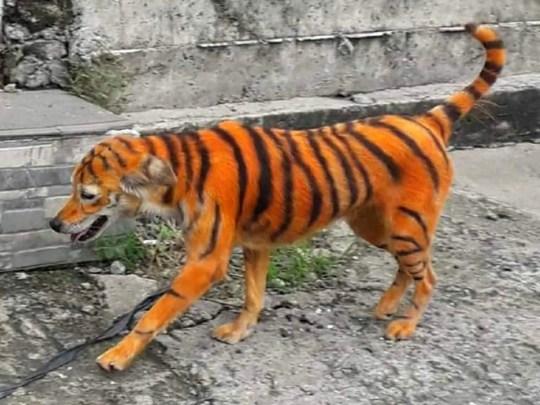 Colère pour un chien errant peint comme un tigre (Photo: Flash Info)
