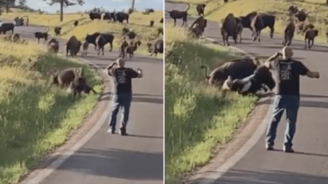 Woman being mauled by bison