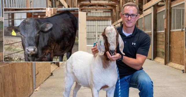 Les chèvres et les vaches pourraient devenir des animaux `` super papa ''