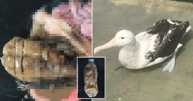 Albatros a avalé une bouteille en plastique entière