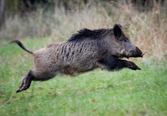 FILE - In this Nov. 9, 2019 file photo, a wild boar jumps in the Taunus region near Frankfurt, Germany. Following a suspected case of African swine fever in Brandenburg, the Federal Minister of Food and Agriculture Julia Kloeckner informed about the results of the analysis after examining a sample of the carcass. The animal disease has been detected for the first time in Germany. (AP Photo/Michael Probst)