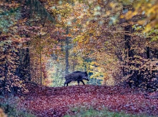 FICHIER - Sur cette photo d'archive du 9 novembre 2019, un sanglier traverse une forêt de la région de Taunus près de Francfort, en Allemagne.  Suite à un cas suspect de peste porcine africaine dans le Brandebourg, le ministre fédéral de l'Alimentation et de l'Agriculture Julia Kloeckner a fait part des résultats de l'analyse après avoir examiné un échantillon de la carcasse.  La maladie animale a été détectée pour la première fois en Allemagne.  (Photo AP / Michael Probst)