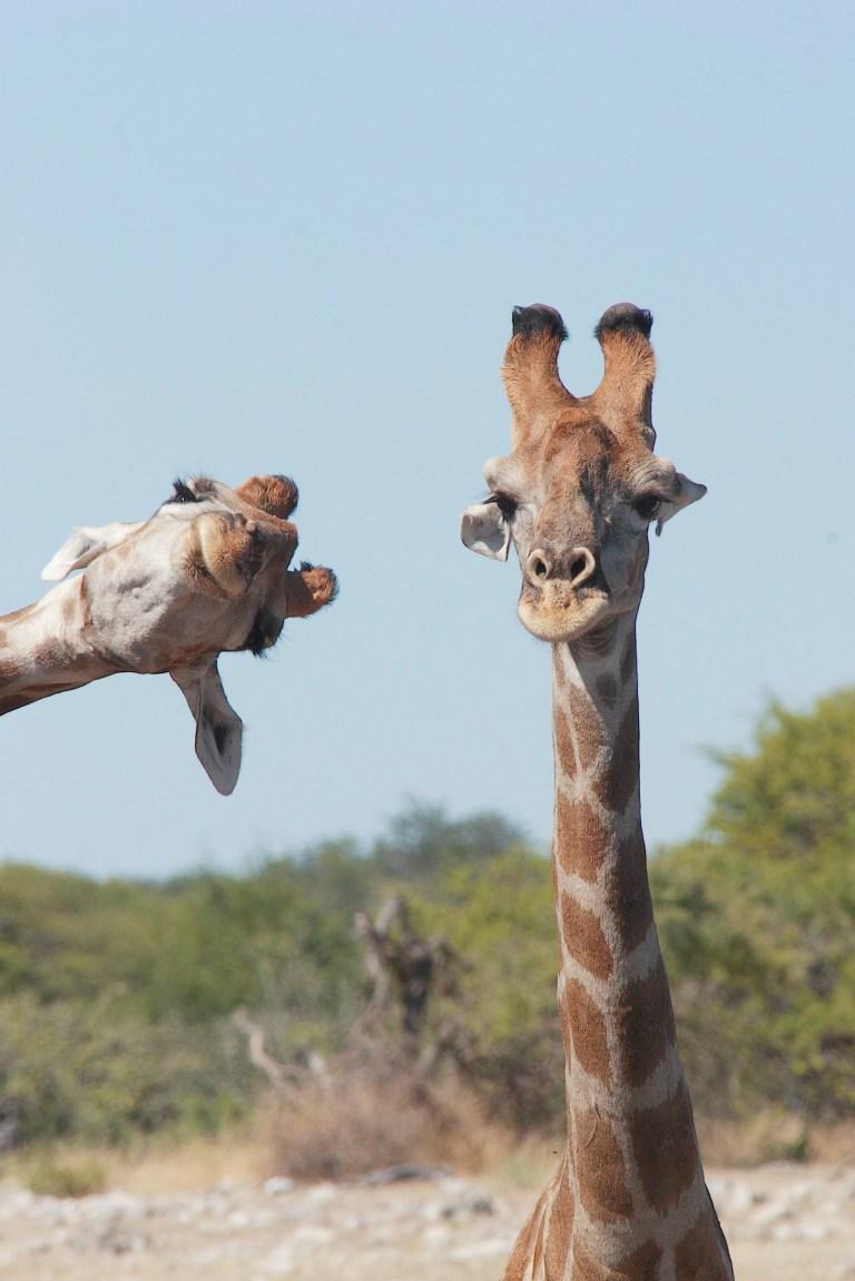 Une girafe peut être vue debout tandis qu'une autre pousse sa tête dans la photo du côté gauche