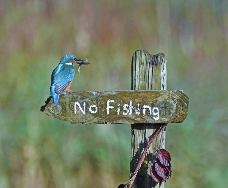 Un martin-pêcheur est assis sur un panneau indiquant «pas de pêche» avec un poisson dans son bec.