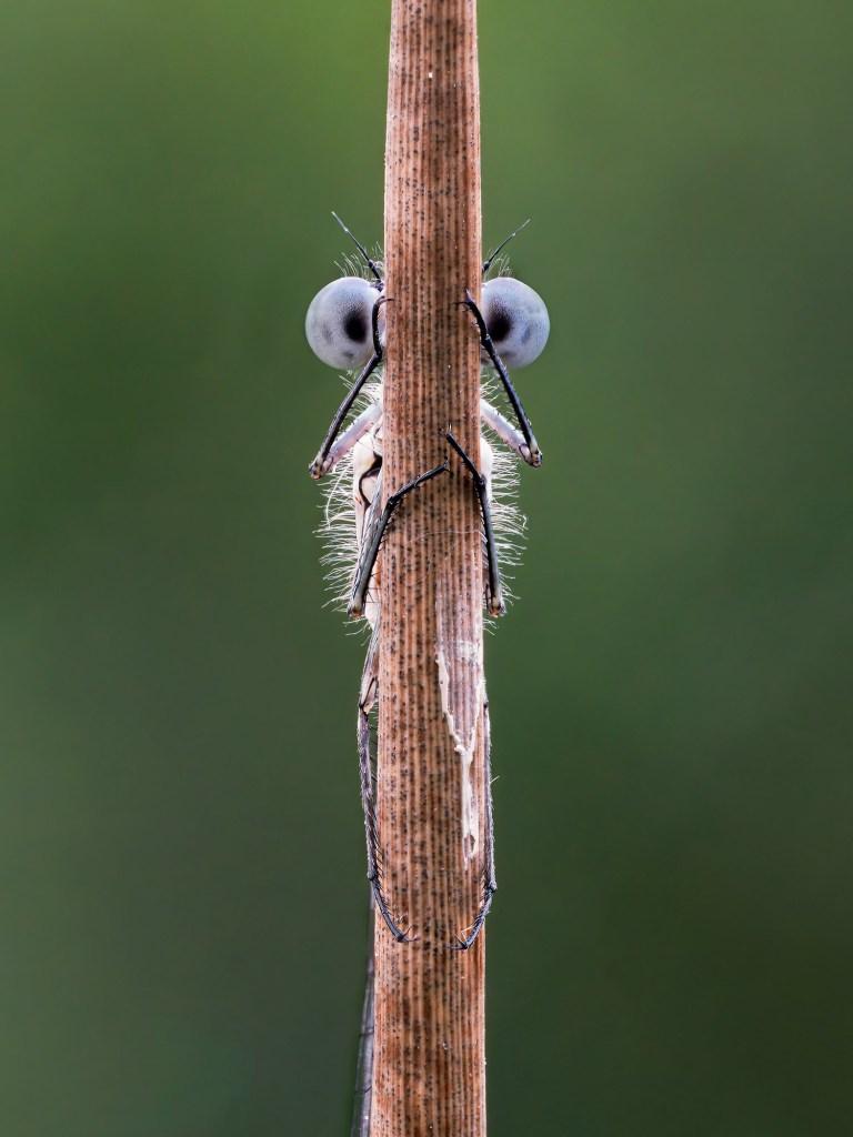 Un insecte aux deux yeux exorbités se trouve sur une branche