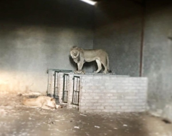 Photograph of a lion in a dark enclosure with no grass or light