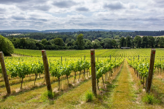 Albury Organic Vineyard in the Surrey Hills