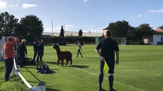 Oscar the alpaca invading the pitch during the Carlton Athletic v Ilkley Town West Yorkshire League Premier Division on Saturday.