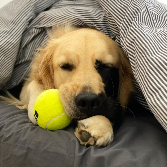 Adorable Golden Retriever has huge Instagram following due to her usual markings
