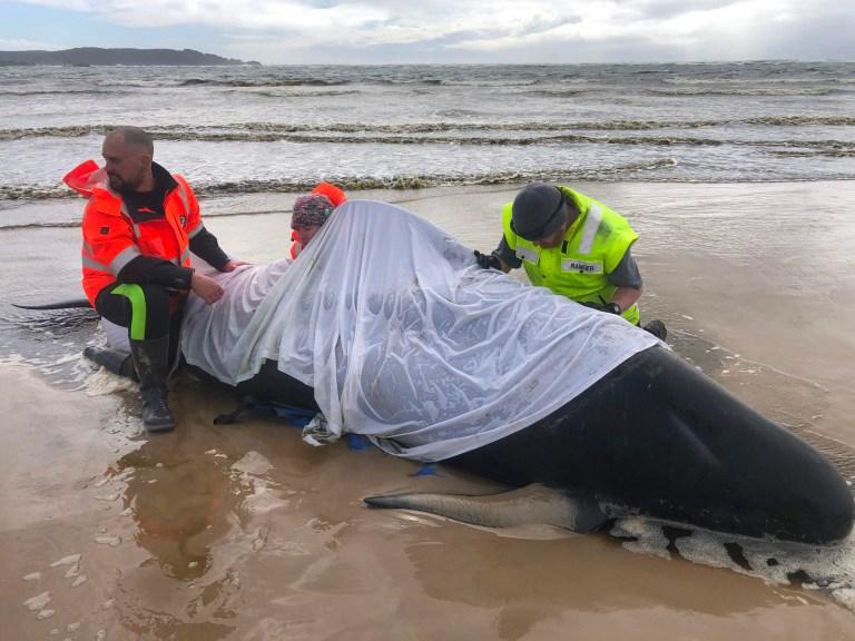 Les gens qui aident une baleine dans le port de Macquarie sur la côte ouest de la Tasmanie