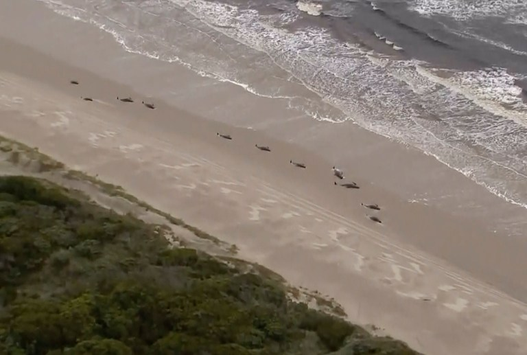 de nombreuses baleines échouées le long de la côte le mercredi 23 septembre 2020, près de la ville isolée de la côte ouest de Strahan, dans l'État insulaire de Tasmanie, en Australie.