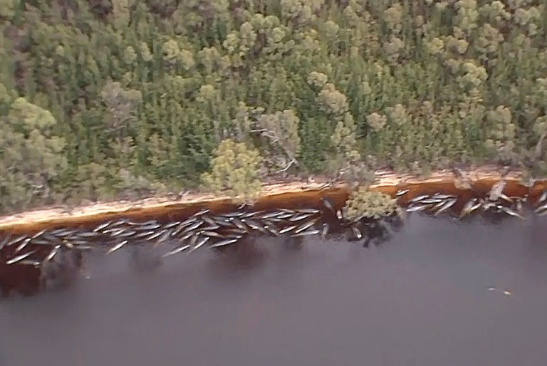 Une photo aérienne montre de nombreuses baleines échouées le long de la côte le mercredi 23 septembre 2020, près de la ville isolée de la côte ouest de Strahan, dans l'État insulaire de Tasmanie, en Australie.