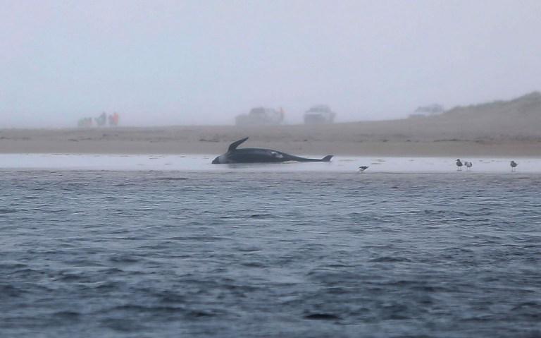Une baleine échouée sur une plage de Macquarie Harbour sur la côte ouest de la Tasmanie.
