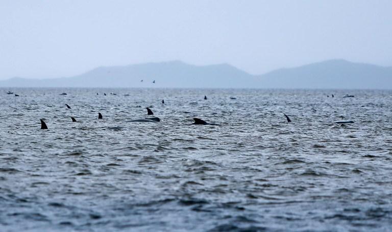 Les baleines échouées sur un banc de sable dans le port de Macquarie sur la côte ouest de la Tasmanie