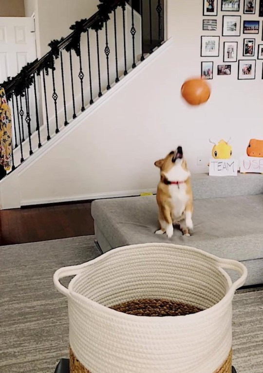 Video grab of Lilo the corgi and her unique talent - throwing basketball trick shots