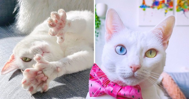 Cat with extra toes and different coloured eyes