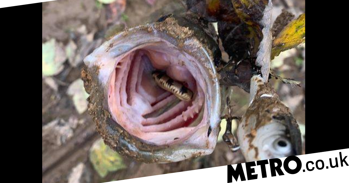 Grotesque photo shows snake eaten by fish living inside its mouth - metro