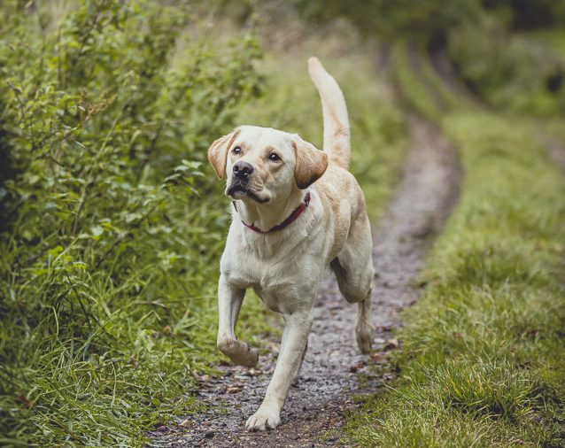 Labrador-golden retriever cross, Ivan, who was withdrawn as a guide dog but has been enlisted onto Medical Detection Dog's team of elite Covid-19 detection dogs