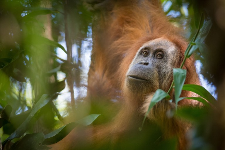 A Tapanuli orangutan, as scientists have described a third new species of orangutan with a small population of 800 in the forests of North Sumatra in Indonesia.
