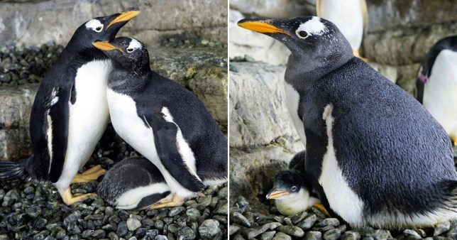 Composition of two photographs showing gay penguin couple