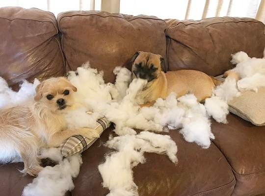 Pug-crosses after ripping cushions