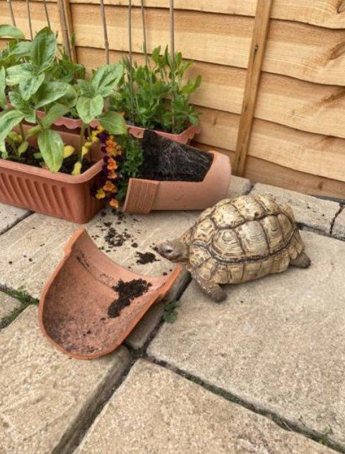 Tortoise who broke plant pot