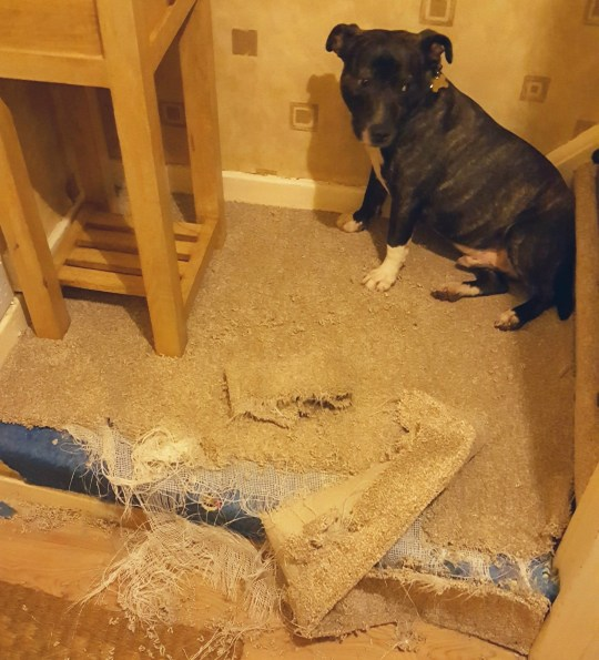 Dog after it ripped hallway carpet