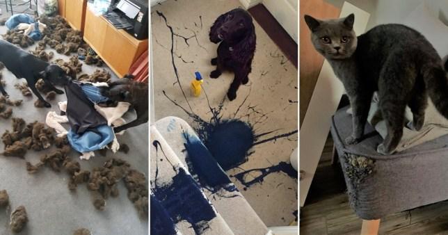 Cocker Spaniel who spilled blue paint on cream carpet