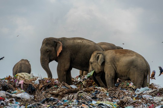 **MANDATORY CREDIT: Tharmaplan Tilaxan/Cover Images** These harrowing images of elephants foraging for food on a refuse facility were captured by Tharmaplan Tilaxan, a Jaffna-based photographer. Elephants normally travel over 30 km per day and seed up to 3500 new trees a day. For the Oluvhil Palakadhu elephants many things have changed and their changed behavior will change our landscape. Tharmapalan Tilaxan has observed this open garbage dump amidst the jungles of the Eastern Province for many months and documented the hazards this poses to the local elephant population. He explains the scenes in his own words: In the eastern province, a herd of wild elephants have picked up a peculiar???and sad???habit: Since of late, these elephants have been seen foraging for food in garbage dumps. One garbage dump???situated near an area near known as ???Ashraf Nagar??? close to the forest bordering the Oluvil-Pallakadu area in the Ampara district???is considered the cause of this new, destructive and unhealthy habit. Garbage from Sammanthurai, Kalmunai, Karaitheevu, Ninthavur, Addalachchenai, Akkaraipattu and Alaiyadi Vembu is dumped here, and has slowly encroached on the adjacent forest, becoming easily accessible to the wild elephants of Oluvil. As a result of unintentionally consuming microplastics and polythene, large quantities of undigested pollutants have been found in the excretion of these wild animals. A number of postmortems carried out on elephant cadavers have yielded plastic products and non-digestive polythene in their stomach contents. The herd of wild elephants???numbering about 25-30???now accustomed to feeding so close to human habitat have also begun to invade nearby paddy fields and villages seeking more food adding more tension to the already fraught relationship between the villagers and the wild animals. Despite a number of roundtable discussions with authorities that arrived at many solutions ??? including the construction of a reinfo