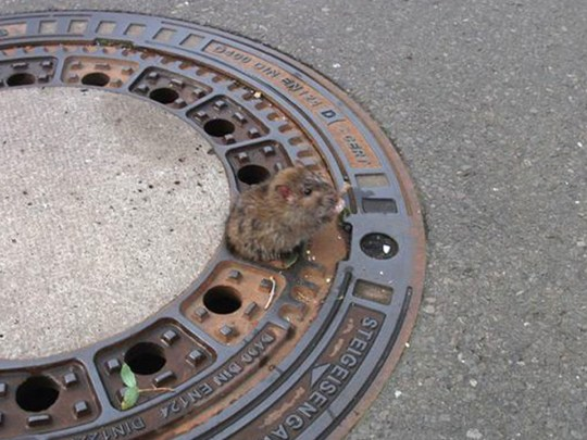 Photograph of fat stuck stuck in drain hole